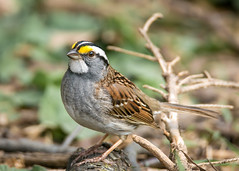 White-throated Sparrow (Dalibor M) Tags: bird sparrow whitethroatedsparrow sonya77ii tamronsp150600mmf563usd