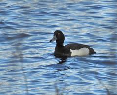 (llhaetta) Tags: duck nikon p900 coolpix tufted aythya fuligula toppand vuoktafiehta