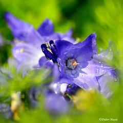 Campanule (didier95) Tags: macro fleur vert bleu campanule fleurbleue