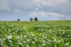 Weinviertel Niederösterreich Siebenhirten DSC_0156 (reinhard_srb) Tags: landwirtschaft feld wolke grün baum niederösterreich regen korn wetter acker hügel getreide weinviertel wachsen kulturlandschaft siebenhirten