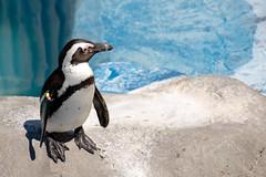 Little Penguin (Juaberna) Tags: madrid animals zoo penguin sp animales 70300mm tamron vc pinguino