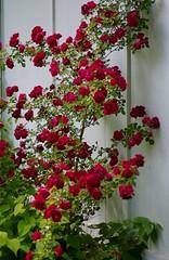 Dr. Huey rose (Niki Gunn) Tags: flowers roses flower macro rose pentax may huey tamron 90mm k5 tamron90mm 2016 drhuey tamron90mmf28 tamron90mmmacro tamronspaf90mmf28