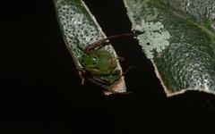 Cetratus sp. nova (dustaway) Tags: nature rainforest australia nsw arthropoda crabspider rotarypark arachnida lismore araneae araneomorphae thomisidae australianspiders northernrivers thomisinae cetratus cetratusspnova