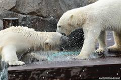 Ijsberen, Wildlands-7538 (Josette Veltman) Tags: zoo arctic ijsbeer icebear emmen dierentuin icebears noordpool roofdier wildlands ijsberen