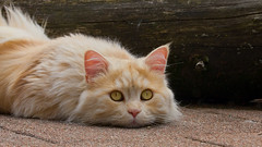 Flat kitty - awaiting the arrival of THE BIRDS ! (FocusPocus Photography) Tags: pet animal cat waiting chat linus gato katze haustier kater tier wartet