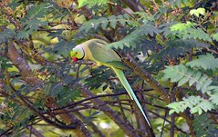 Ring-necked parakeet (31) Wild Bird (John Carson Essex R.I.P. John and thank you for be) Tags: thegalaxy supersix rainbowofnature thegalaxystars