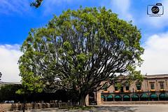 tree (enyahhernandez) Tags: mxico canon eos rebel san rbol t5 luis potosi sanluispotosi