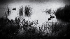 Quiet on the Lake (Anne Worner) Tags: blackandwhite bw water lensbaby swimming reeds dark outdoors mono three grain ducks wideangle olympus sombre vegetation fowl waterfowl mallards noire underbrush em5 silverefex anneworner velvet56