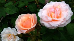 Now there are three ... (peggyhr) Tags: pink friends roses white canada green dedication vancouver three bc cream diagonal thegalaxy 50faves peggyhr heartawards thegalaxyhalloffame frogpondflorals thelooklevel1red thelooklevel2yellow thelooklevel3orange thelooklevel4purple thelooklevel5green niceasitgets~level1 niceasitgets~level2 niceasitgets~level3 rainbowofnaturelevel1red l~1passionforflowers galeriesundance~ cocoonofdreamslevel1 level1peaceawardsp1 60faves~ cocoonofdreamslevel3 cocoonofdreamslevel2 30faves~