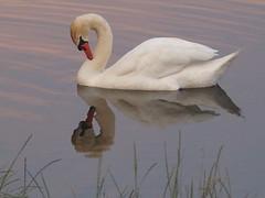 Schnheitspflege (dorotheazinsser) Tags: wasser schwan spiegelung wasservgel abendrot stausee schotten