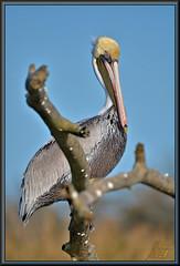 Equal time (WanaM3) Tags: sky bird nature nikon branch texas wildlife pelican bayou pasadena canoeing paddling brownpelican clearlakecity d7100 horsepenbayou wanam3 nikond7100