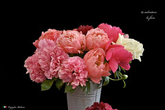 I COLORI DELLA NATURA. (Salvatore Lo Faro) Tags: verde nature nikon rosa natura fiori fiore rosso bianco salvatore secchio 7200 peonia orticola lofaro