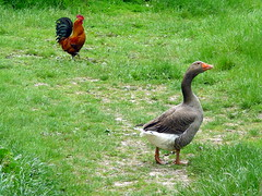 Oie et coq (xavnco2) Tags: france gallo goose rooster coq picardie oca oie somme