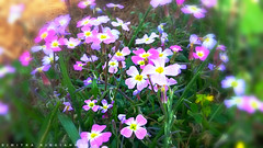 colors... (Love me tender .**..*) Tags: flowers blur green nature greek photography spring lomo flickr purple earth greece planet wildflowers mobileshots attica 2016 dimitra   grammatiko varnava   anatolikiattiki   kirgiannaki dimitrakirgiannaki samsunga5