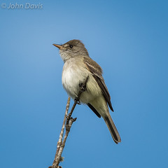 Willow Flycatcher 20160603_0297 (GORGEous nature) Tags: bird water june washington spring singing scenic stevenson skamaniaco perched wetland vertebrates tyrannidae passerine willowflycatcher empidonaxtraillii rockcreekroad powerlinewetland johndavis