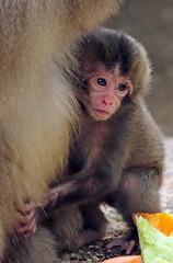 Japanese macaque Artis JN6A2662 (j.a.kok) Tags: artis macaque japanesemacaque makaak japansemakaak