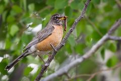 Early Bird Catches the Worm (Alex E. Proimos) Tags: park tree bird early grand national worm teton