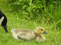 Stoke Row Steam Rally (David Bowen Photography) Tags: chick killer mink chicks kills moor hen moorhen