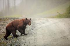 Brown Male Black Bear (conradolson) Tags: ca canada whistler bc britishcolumbia northamerica blackbear seatoskyhighway blackcombmountain