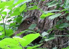 Woodchuck (Kelly Preheim) Tags: woodchuck