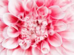 (It is emitted Charm) (wakyakyamn) Tags: doubleexposure em10markii flower omd olympus     dahlia