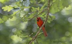 The Skeptic! (glenda.suebee) Tags: cardinal male red colorful bokeh oak wildlife summer ohio 2016 glendaborchelt