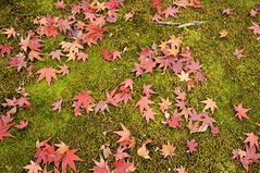 Japanese Maple and Moss | Kyoto (), Japan (Ping Timeout) Tags: park city bridge november autumn wallpaper vacation orange moon mountain holiday plant storm color colour tree green history fall texture nature beautiful leaves japan forest river garden season landscape japanese leaf site moss maple flora kyoto crossing outdoor capital scenic ground bamboo mount arashiyama acer  imperial  nippon   simple prefecture miyako kansai region metropolitan attraction palmatum arashi honshu 2015 keishi     irohamomiji  togetsuky saiky i  ky autoremovedfrom1to5faves