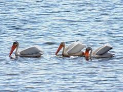 Jul16,2016 DSC03240 American White Pelican (terrygray) Tags: americanwhitepelican