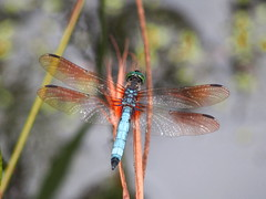 Wistful Watercolor Dragon (skipperlin10) Tags: bluedash dragonfly insects flyingwings ponds water forest nature