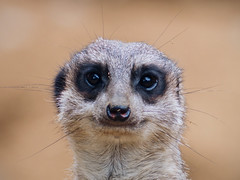 Meerkat (Michal Jeska) Tags: meerkat suricate erdmnnchen suricatta suricata surikate scharrtier