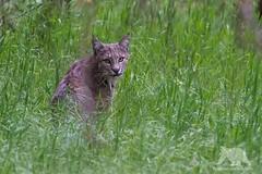 Bobcat (fascinationwildlife) Tags: california park wild summer usa nature animal america forest cat mammal feline wildlife natur rufus national yosemite elusive bobcat lynx luchs rotluchs