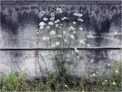 GEFLECKTER SCHIERLING (nouredine) Tags: herstal llemonsin canalalbert lameuse coniummaculatum gefleckterschierling white blanc kohlestaub nouredine