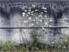 GEFLECKTER SCHIERLING (nouredine) Tags: herstal lîlemonsin canalalbert lameuse coniummaculatum gefleckterschierling white blanc kohlestaub nouredine explore