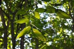 Stop and stare (Studio 9265) Tags: charlestown indiana state park usa united states nature nikon d5000 green america summer 2016 tree leaves branch twig perspective closeup hanging