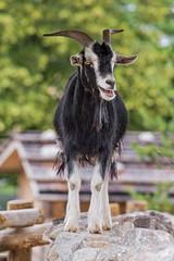 Goat on the wall (Tambako the Jaguar) Tags: goat posing standing wall portrait black white zrich zoo switzerland nikon d4