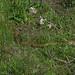 Serpiente * Elaphe scalaris