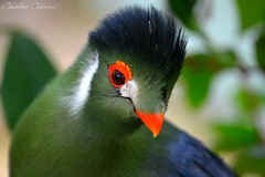 White-cheeked Turaco (Kataaku) Tags: orange baby white france color green bird look animal animals fly photo reflex nice nikon photographie ngc caroline turaco animales cote animaux parc rare animale animalia pheonix dazur catenacci touraco cheeked tauraco animalire d5200 kataku kataaku