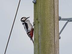 Great spotted woodpecker on a telegraph pole (David R Owen) Tags: major woodpecker nikon great national trust spotted tamron fen wicken dendrocopos d810 150600