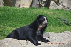 Nicole II (MsLiz788) Tags: zoosofnorthamerica andeanspectacledbear