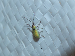 Curculionidae>Myllocerus Weevil DSCF8872 (Bill & Mark Bell) Tags: exmouth westernaustralia australia geo:town=exmouth geo:state=westernaustralia geo:country=australia geo:lon=11425453egeolat2217752sgeoalt8m 11425453e2217752salt8m taxonomy:kingdom=animalia animalia taxonomy:phylum=arthropoda arthropoda taxonomy:class=insecta insecta taxonomy:order=coleoptera coleoptera taxonomy:family=curculionidae curculionidae taxonomy:genus=myllocerus myllocerus taxonomycommonnameweevil weevil beetle