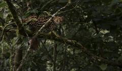 Oncilla (ggallice) Tags: peru cat andes cloudforest pasco felidae oncilla tigrillo leopardustigrinus yanachaga–chemillén