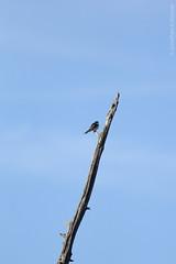 Tree Swallow (Jonathan Eckerson) Tags: canon 56 400mm caratunk 60d