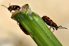 Asparagus beetle (Crioceris asparagi) (Ian Redding) Tags: uk nature fauna insect wildlife beetle british invertebrate arthropod leafbeetle