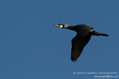 Cormorant Fly Past (Phalacrocorax carbo carbo) (gcampbellphoto) Tags: nature wildlife flight northernireland cormorant seabird bif birdinflight northantrim phalacrocoraxcarbocarbo gcampbellphoto