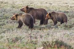 Quad Mom Trio Family 11 (BigSkyKatie) Tags: bear cub nationalpark spring may yellowstone cubs grizzly sow 2012 grizzlybear 3rdspring swanlakeflat