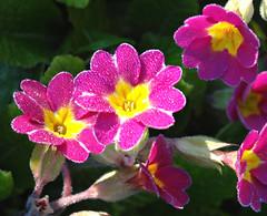 Crispy spring (Jaedde & Sis) Tags: aurikler spring flowers primula frost cold challengefactorywinner thechallengefactory gamewinner