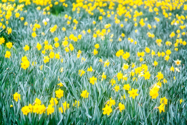 park desktop wallpaper plant flower london grass garden stock samsung daffodil lightroom hyepark nx2000 perfectphotosuite