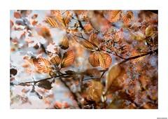 surimpression (bertholino fabrice) Tags: nature doubleexposure wildlife fullframe doubleexposition arbre printemps feuille branche 2015 surimpression nikond600 photoartistique deuximages photodenature bertholinofabrice capteur24x36 sigma105macrooshsm grandcapteur