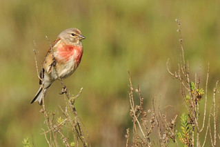 Linotte mélodieuse - Common Linnet (Linaria cannabina)