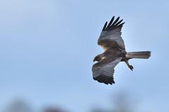 Marsh Harrier (Bill Richmond) Tags: raptor western birdofprey circusaeruginosus marshharrier nikond810